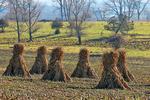 Corn Stalks on Amish Farm in Late Fall, Green Lake County, Wisconsin