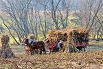 Amish Farmer Gathering Corn Stalks in Late Fall, Green Lake County, Wisconsin