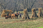 Amish Farmer Gathering Corn Stalks in Late Fall, Green Lake County, Wisconsin