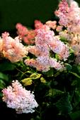 Spring Pink Lilac in Yard, Appleton, Wisconsin