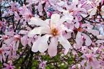 Magnolia Leonard Messel, Boerner Botanical Gardens, Milwaukee, Wisconsin