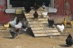 Chicken Coop, Mulberry Lane Farm, Sherwood, Wisconsin