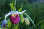 Showy Lady Slipper, Bailey's Harbor, Door County, Wisconsin