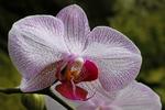 Phalaenopsis Pink Orchid, Bolz Conservatory, Olbrich Gardens, Madison, Wisconsin