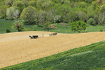 Amish Farmers Working Field In Valley, Eau Claire County, Wisconsin