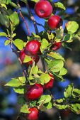 Star Orchard Apples in Fall, Kaukauna, Wisconsin