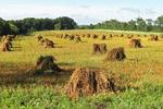 Shocks of Wheat1, Clifton, Monroe County, Wisconsin