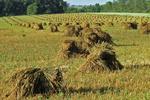Shocks of Wheat, Clifton, Monroe County, Wisconsin