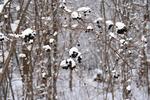 Black Berries With Snow in Woods, Appleton, Wisconsin