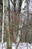 Red Berries in Woods, Appleton, Wisconsin