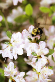 Bee on Blossoms, Appleton, Wisconsin