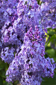 Lilac in Bloom, Sturgeon Bay, Wisconsin