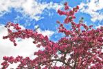 Spring Blooming Tree, Appleton, Wisconsin