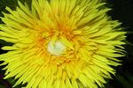 Yellow Spider Mum, Appleton, Wisconsin