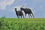 Goats on Grass Roof, Al Johnson's Swedish Restaurant, Sister Bay, Wisconsin