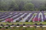 Island Lavender Company Lavender Fields in Fog, Washington Island, Door County, Wisconsin