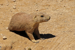 Prairie Dog, NEW Zoo, Suamico, Green Bay, Wisconsin