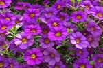 Purple Petunias, Ebert's Greenhouse Village, Ixonia, Wisconsin