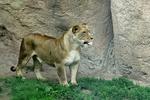 Lioness at Racine Zoo, Racine, Wisconsin