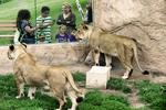 Watching the Lions at Racine Zoo, Racine, Wisconsin