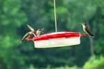 Hummingbirds at Feeder, Wyalusing State Park, Wisconsin