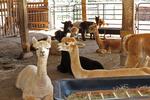 Sabamba Alpaca Ranch With Alpacas in Barn, De Pere, Wisconsin