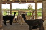 Alpacas in the Barn, Sabamba Alpaca Ranch, De Pere, Wisconsin
