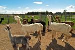 Alpacas in Yard, Sabamba Alpaca Ranch, De Pere, Wisconsin