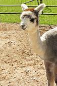 Alpaca Juvenile in Yard, Sabamba Alpaca Ranch, De Pere, Wisconsin