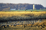 Geese on Pond and Farm in Fall, Horicon, Wisconsin
