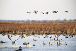 Geese at Horicon Marsh in Fall, Waupun, Wisconsin