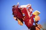 Frost on Fall Leaves in Yard, Appleton, Wisconsin