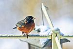 Robin At Feeder In Yard In Winter, Appleton, Wisconsin