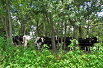 Cows in the Shade, Columbia County, Wisconsin