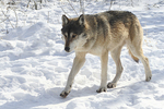 Wolf in Snow at Bay Beach Wildlife Center, Green Bay, Wisconsin