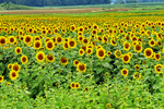 Sunflower Field in Bloom, Cecil, Wisconsin
