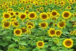 Sunflower Field, Cecil, Wisconsin