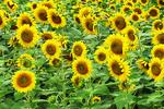 Sunflowers in Field, Cecil, Wisconsin