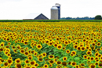 Sunflower Field and Farm, Cecil, Wisconsin