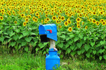 Sunflowers and Blue Mailbox, Cecil, Wisconsin