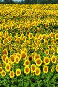 Sunflowers in the Field, Cecil, Wisconsin