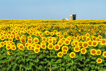 Sunflowers and Barn, Cecil, Wisconsin