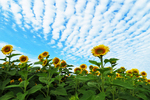 Sunflowers and Clouds in the Sky, Cecil, Wisconsin