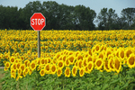 Sunflowers and Stop Sign, Cecil, Wisconsin