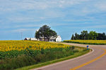 Sunflowers on both sides of road, Cecil, Wisconsin