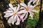 Magnolia Blossoms, Appleton Memorial Park, Appleton, Wisconsin