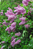 Purple Lilac Flowers in Spring, Cana Island, Door County, Wisconsin
