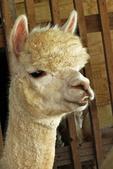 Alpaca Closeup, Sabamba Alpaca Ranch, De Pere, Wisconsin