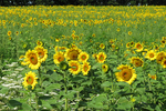Sunflowers at Pope Conservancy, Middleton, Wisconsin