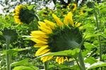 Sunflower from Back, Pope Conservancy, Middleton, Wisconsin